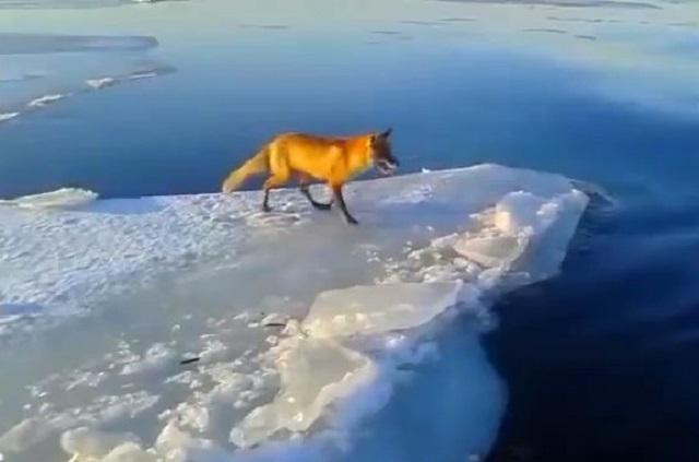 Московские специалисты в центре Москвы спасли лисицу с льдины