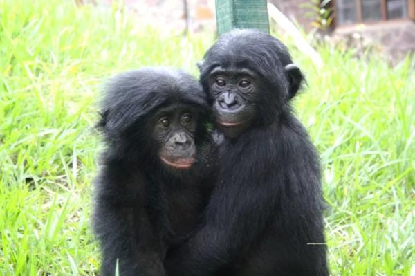 Биологи выяснили, почему самки бонобо практикуют однополые связи