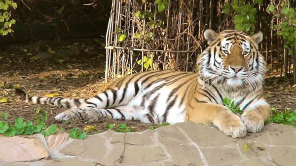 Московский зоопарк передаст амурского тигра Дизеля в зоопарк США