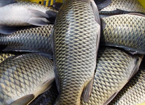 Самая прочная броня.....рыбья чешуя