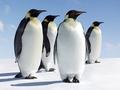 Древние пингвины были  карликами