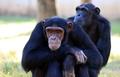Полиция популярна....среди шимпанзе