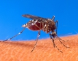 Лихорадка делает из комаров героев
