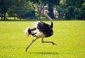 Поют и спят стоя: все о страусах