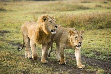 Танзания: дикие львы под угрозой исчезновения