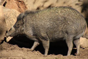 Ученые из Франции выяснили необычные способности свиней, близкие к человеческим навыкам