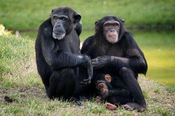 Шимпанзе смогут адаптироваться к жизни вне охраняемых территорий